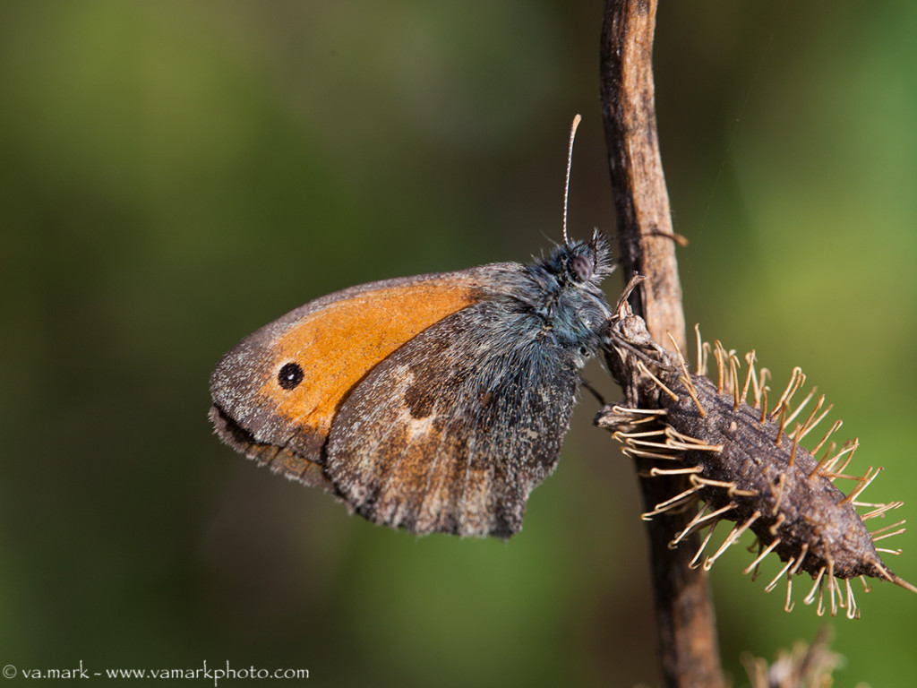 08042014-01-Coenonympha pamphilus